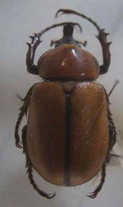 標本 30-10 Golofa cochlearis 約35mm 現状特価