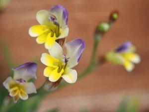 種子20粒 スパラキシス ヴィロサ Sparaxis villosa